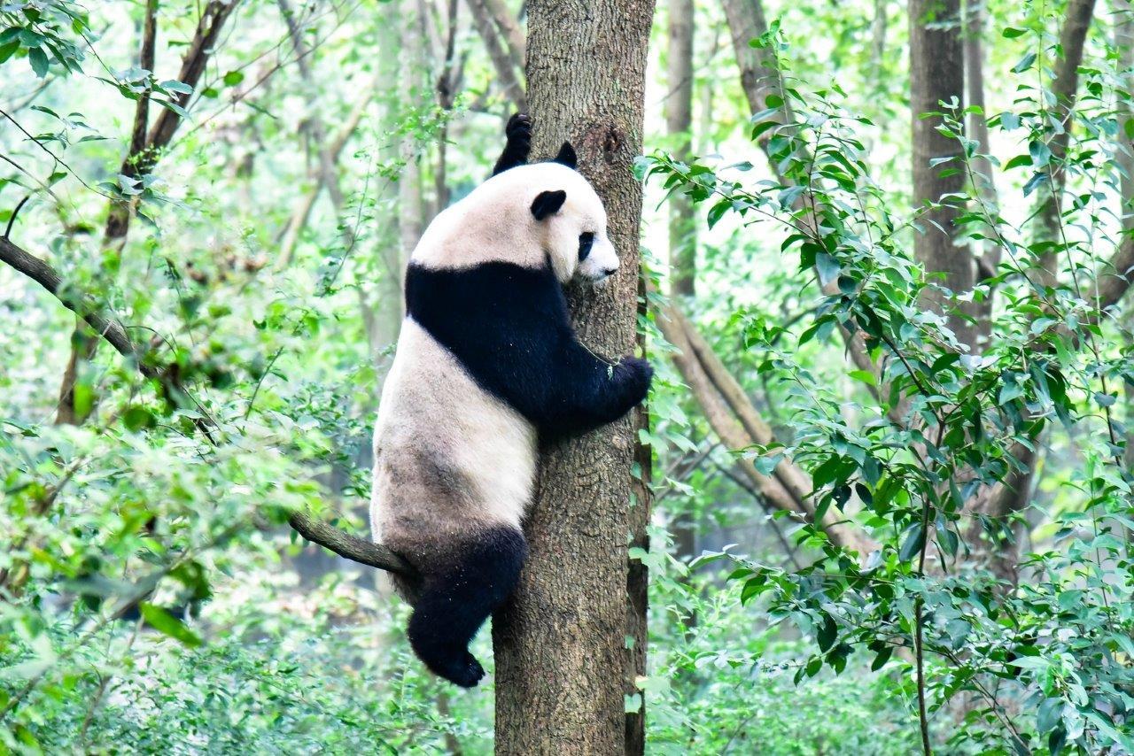ความน่ารักของหมีแพนด้า 2