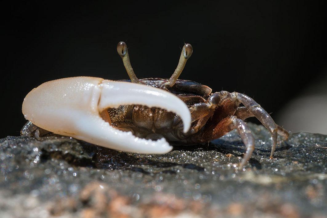 1200px-Uca_sp.,_fiddler_crab_-_Tarutao_National_Marine_Park_