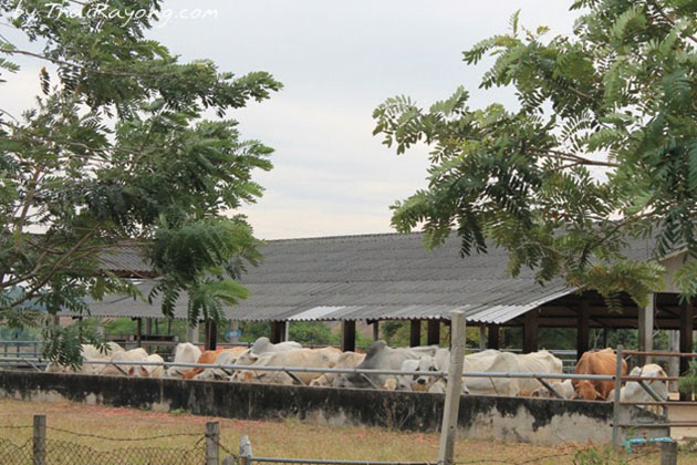ThaiRayong268
