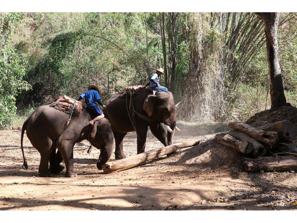 38.ปางช้างเชียงดาว - ช้างลากซุง